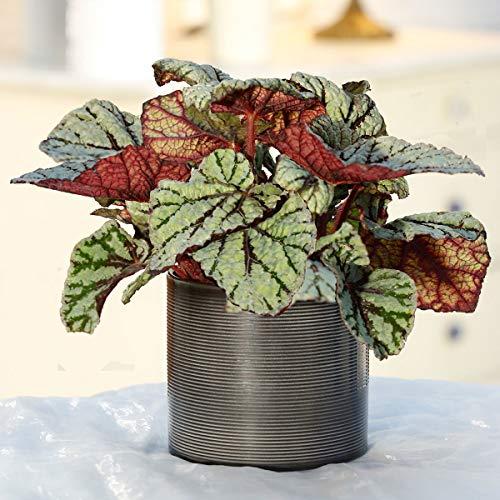 Qulista Samenhaus - Rarität 50pcs Grüne Begonie Magic Colours bunte Blatt-/Königs-Begonie Zimmerpflanzen Blumensamen winterhart mehrjärhig