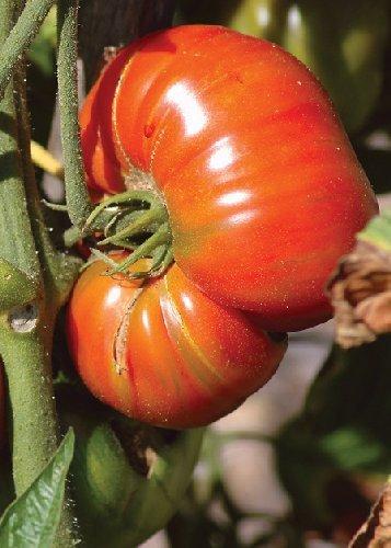 Tropica - Tomaten - Pink Brandywine (Lycopersicon esculentum) - 10 Samen - Alte Erhaltersorte / USA