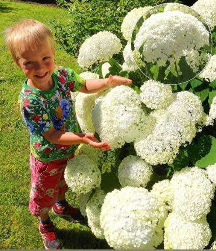 Rare Snowball Ortensia 'Annabelle', Ortensia paniculata 'Magical Moonlight' Hardy Perenne Fiore Semi in Bordere/un grande contenitore da patio