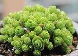 51Noe4TMylL. SL160  - Ces Roses Vertes sont une Espèce Rare de Plantes Grasses - Plantes, Photographie, Fleurs, Déco, Amazon