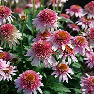echinacea Butterfly Kisses Double Puffy coneflower 3