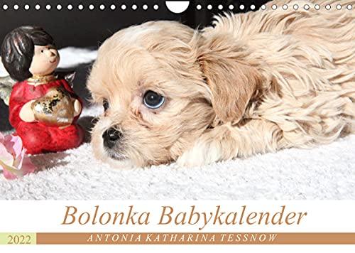 Bolonka Babykalender 2022 (Wandkalender 2022 DIN A4 quer)