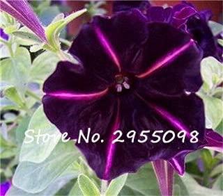 20 Seeds Petunia Kabloom Calibrachoa, mixed bonsai flower seeds, Morning Glory, Pot Plant For Home Garden 8
