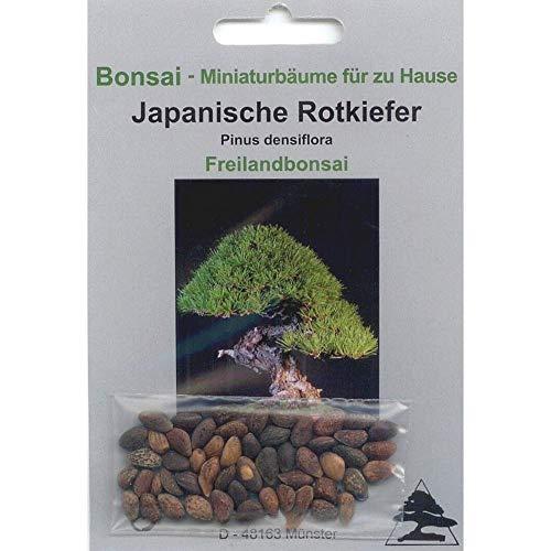 Tropica - Bonsai - pino rosso giapponese (Pinus densiflora) - 40 semi