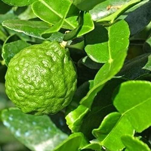 20 Stks Citrus Medica Zaden Niet-GMO Eetbare Verse Geurige Fruit Zaailingen Voor Tuin Tuin Plant Zaden Zaad