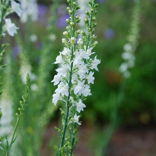 Plant World Seeds - Linaria Purpurea Brown's White Seeds