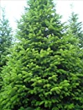 Tree Seeds Online - Aries NOrdmaniana- Nordman sapin. 15 Semences - Lot de 10