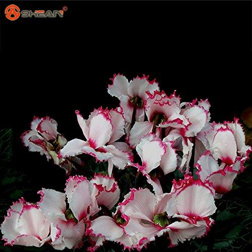 2016 Nouvelle arrivée Rouge Blanc Cyclamen Graines de fleurs plantes à fleurs d'intérieur Balcon Bonsai 100 particules / lot