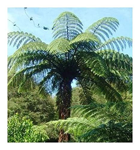 Cyathea medullaris - fougère arborescente noir - 10 graines