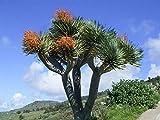 Asklepios-seeds® - 25 Semillas de Dracaena draco drago, dragón, drago canario, drago de Canarias, drago de África, dragonal, dragonero, árbol de la sangre de drago, árbol del drago, árbol Gerión