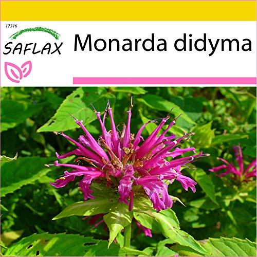 SAFLAX - Anzucht Set - Kräuter - Goldmelisse - 20 Samen - Mit Mini-Gewächshaus, Anzuchtsubstrat und 2 Töpfen - Monarda didyma