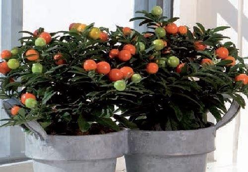 Il vous suffit de graines???Maison Plante???Fleur???Morelle Sagitta Citron vert???10?graines