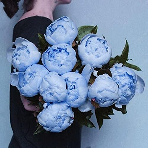 10pcs/Bag Seed Rare Chinese Peony Seed Planting Flowers Terrace Outdoor Patio Peony Flower for Home...