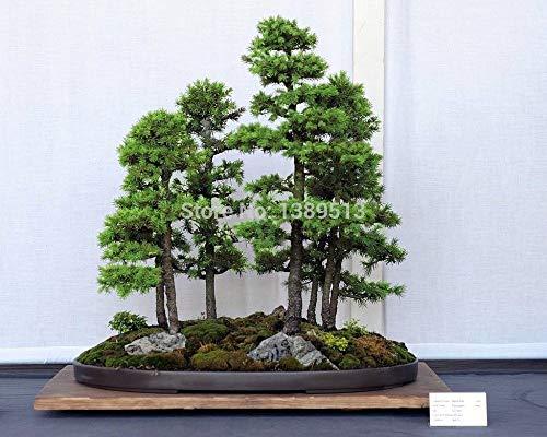graines Bonsai 50 pcs japonaise Pin blanc, Pinus parviflora, Graines Arbre Bonsai Evergreen bricolage SeedsAndPlants jardinage