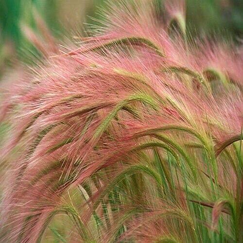 Foxtail Barley Nippon regular agency Ornamental Grass Seeds jubatum Hordeum jocad 2 Max 67% OFF