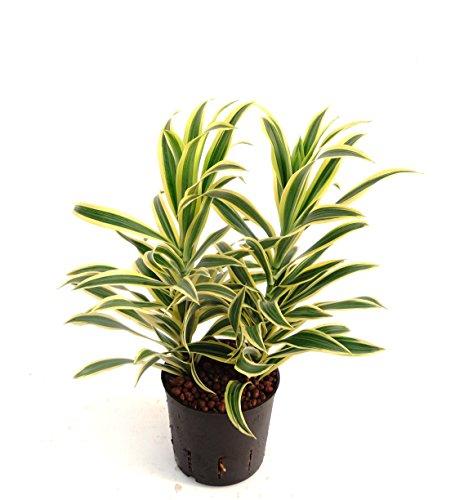 Drachenbaum Dracaena reflexa Song
