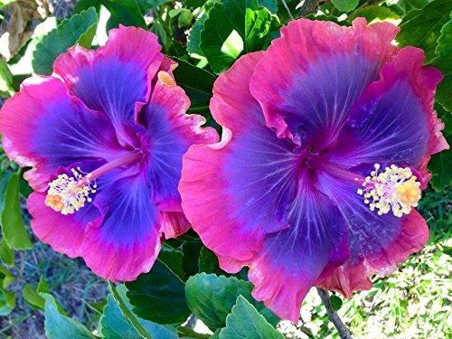 10 Rare Rose Violet Bleu Hibiscus Graines Tropical Fleur géante Jardin Exotique