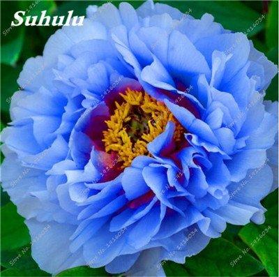 10 Pcs Pivoine graines, semences Potted extérieur, Bonsai Flower Seed, Variété complète, facile à cultiver, d'ornement-plantes pour jardin 11