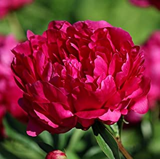 Peony Felix Crousse - 1 Healthy 3/5 Eye Clump - Fragrant Pink Peony! | Ships from Easy to Grow TM