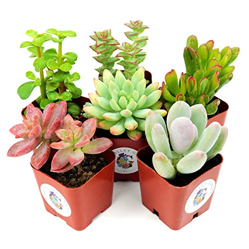 Succulent Plants 6-Pack, Fully Rooted in Planter Pots with Soil - Real Live Potted Succulents, Hand...