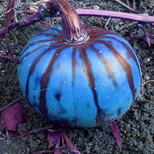 200 Stück Blue Pumpkin Squash Seeds Hausgarten Hof Hof Gemüsedekor Pflanze Gartenpflanzensamen Blaue Kürbiskerne