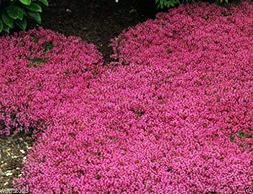 vegherb Frisch 1000 Seeds - Kriechender Thymian Magic Carpet Bodendecker Seed