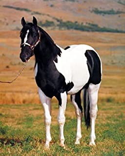 Stallion Horse Wall Decor Tobiano Point Picture Spotter Animal Art Print Poster (16x20)