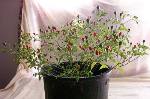 Hermosillo ChilTepin Hot Pepper Seeds