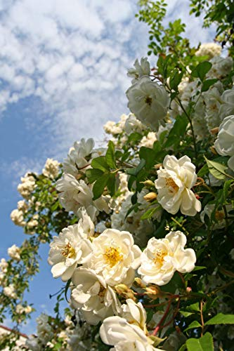 'Rambling Rector' Rambling Rose Bush, with Clusters of Creamy Semi-Double Flowers 3fatpigs