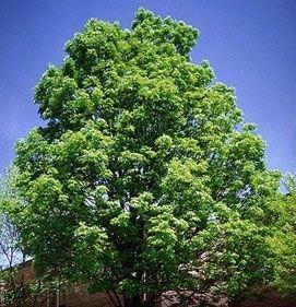 50 Grüne Esche Samen, Rot-Esche