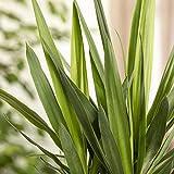 Pflanzen Kölle Palmlilie 'Yucca Elephantipes', herrliche Raumpflanze, Topf 17 cm, Höhe ca. 80 cm - 2