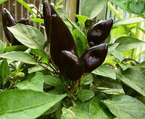 """10 seeds (Wafer) Chilli"""" Feuerküsschen"""" Seeds,Mass Bearer,Black Chilli,Snack Corner,Fire Kiss"""
