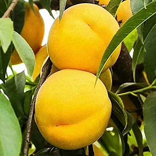 2 Stück Pfirsichsamen Garten Obstbaum Herbst Ernte Sorten Gelbe Epidermis Saftige Erbstück Früchte für den Hof Hof im Freien Pflanzen einfach zu pflegen