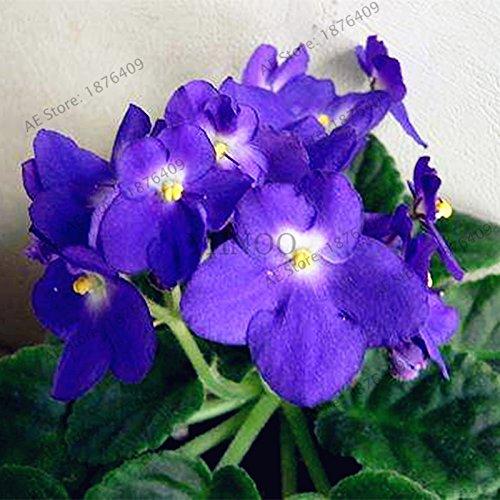 50pcs/sac couleur mélangée Violet Garden Seeds Plantes Violet Fleurs vivaces herbes Matthiola Incana semences pour la maison et le jardin 6