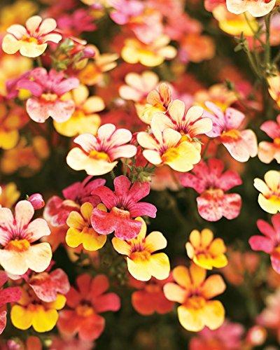 (Nemesia Carnaval * Ambizu *) Nouvelles 200 Graines Nemesia Carnaval Mix strumosa Flower Garden Couleurs mélangées