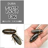 (生餌)デュビア(アルゼンチンモリゴキブリ) Lサイズ(10匹) 爬虫類 大型魚 餌 エサ [生体]