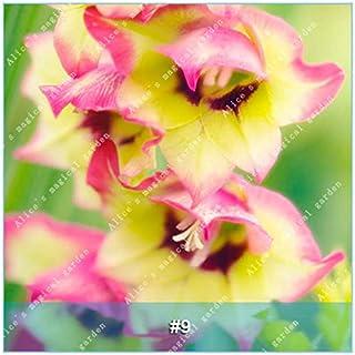 GEOPONICS Semillas: ZLKING 1 PC 15 tipos de bulbo gladiolo flor no Gladiolo fresco de alta germinación Tasa fácil de cultivar orquídeas Bonsai: 9