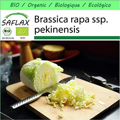 SAFLAX - Garden to Go - BIO - Chinakohl - Granat - 40 Samen - Mit Tontopf, Untersetzer, Anzuchtsubstrat und Dünger - Brassica rapa