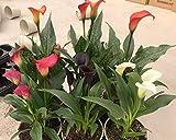 CALAS Pack 6 Plantas - Lirio o Flor de agua - Planta Natural Interior y Exterior - Planta Viva - VP 37