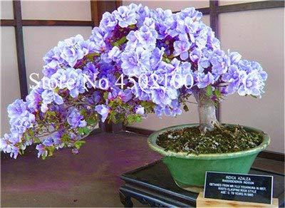Bloom Green Co. 100 Unids Exticos Azalea Bonsai Japonesa, Azalea Rododendro Mixta, Azalea Flor Bonsai Ãrbol Diy Seedssplant Para Jardn De Su Casa: 1