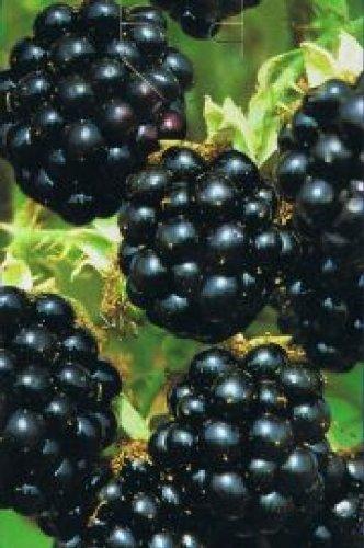 Rubus fruticosus Black Satin - Brombeere...