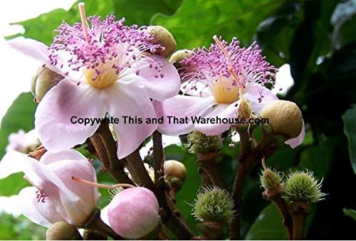 Annatto Bixa Achiote Orellana 10 Samen Uruku Tropical Zimmerpflanze -Standard Baum