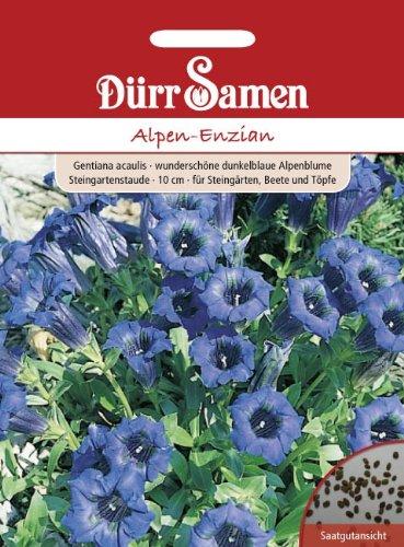 Alpen-Enzian