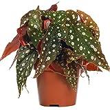 Begonia Maculata Begonia Manchada | Planta de Interior para el Hogar o la Oficina