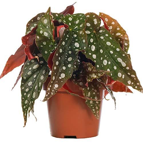 Begonia Maculata Begonia Manchada   Planta de Interior para el Hogar o la Oficina