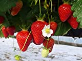 20 Clery Erdbeerpflanzen - Frigo Pflanzen - Pflanzzeit: März/April - Ernte: Beginn Juni - Erdbeersetzlinge/Erdbeerstecklinge - Erdbeerprofi.de