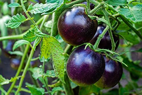 'Dancing with smurfs' Blaue Tomaten 10 Samen - Fast Lila, NON-GVO,Coctailtomate,süß