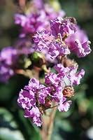 サルスベリ 苗 紫花サルスベリ ポット苗 庭木