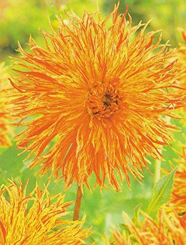 Hirschgeweih Dahlie großblumig Rejman´s Firecracker Knolle Blumenzwiebel (1 Knolle)