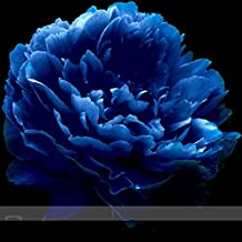 Very Rare 'Luo Yang' Dark Blue Tree Peony Flower Seeds, Professional Pack, 5 Seeds / Pack, New Variety Light up Your Garden